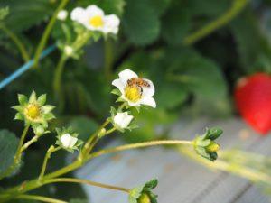 いちごとミツバチ